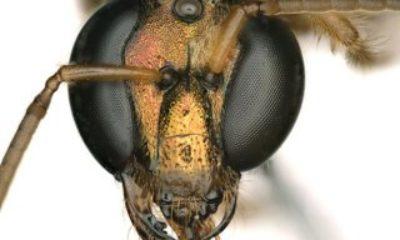 Bilim insanları, yarısı erkek yarısı dişi bir arı keşfetti