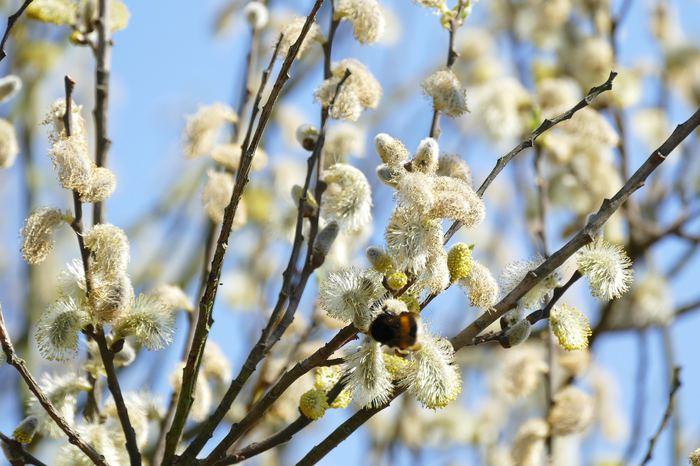 Söğüt ağacındaki kimyasallar tümörleri öldürüyor