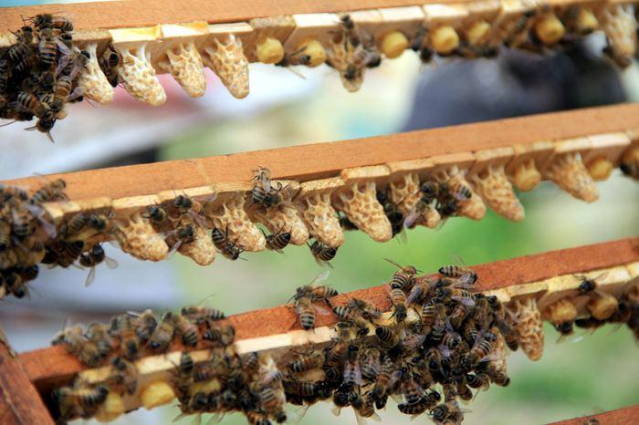Fiyatıyla dudak uçuklatan arı sütünün faydaları