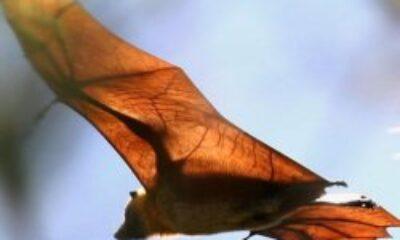 Koronavirüsün yarasaları neden öldürmediği bulundu