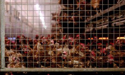 Japonya ve Hollandada kuş gribi salgını: Yüzbinlerce tavuk itlaf…