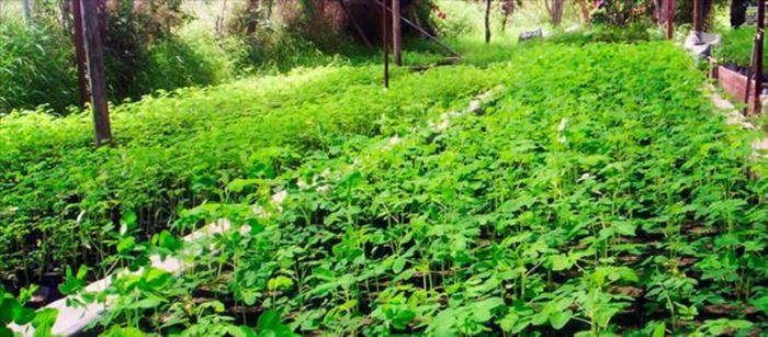 Moringa çayının nedir? Moringa çayının faydaları ve zararları...