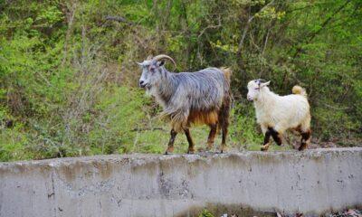 Covid-19a karşı keçi sütünde etkili protein keşfedildi