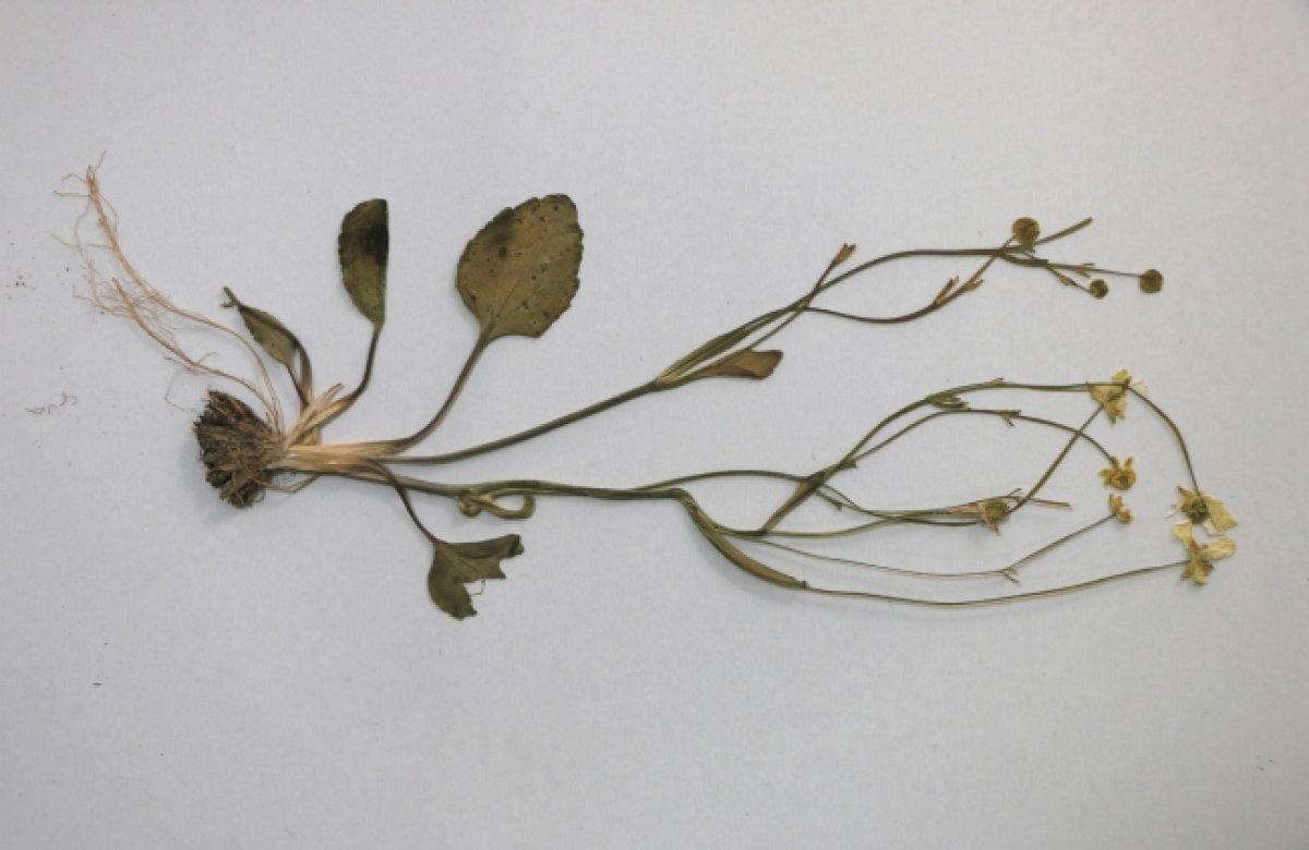 Tuz Gölü havzasında yeni bitki türü keşfedildi