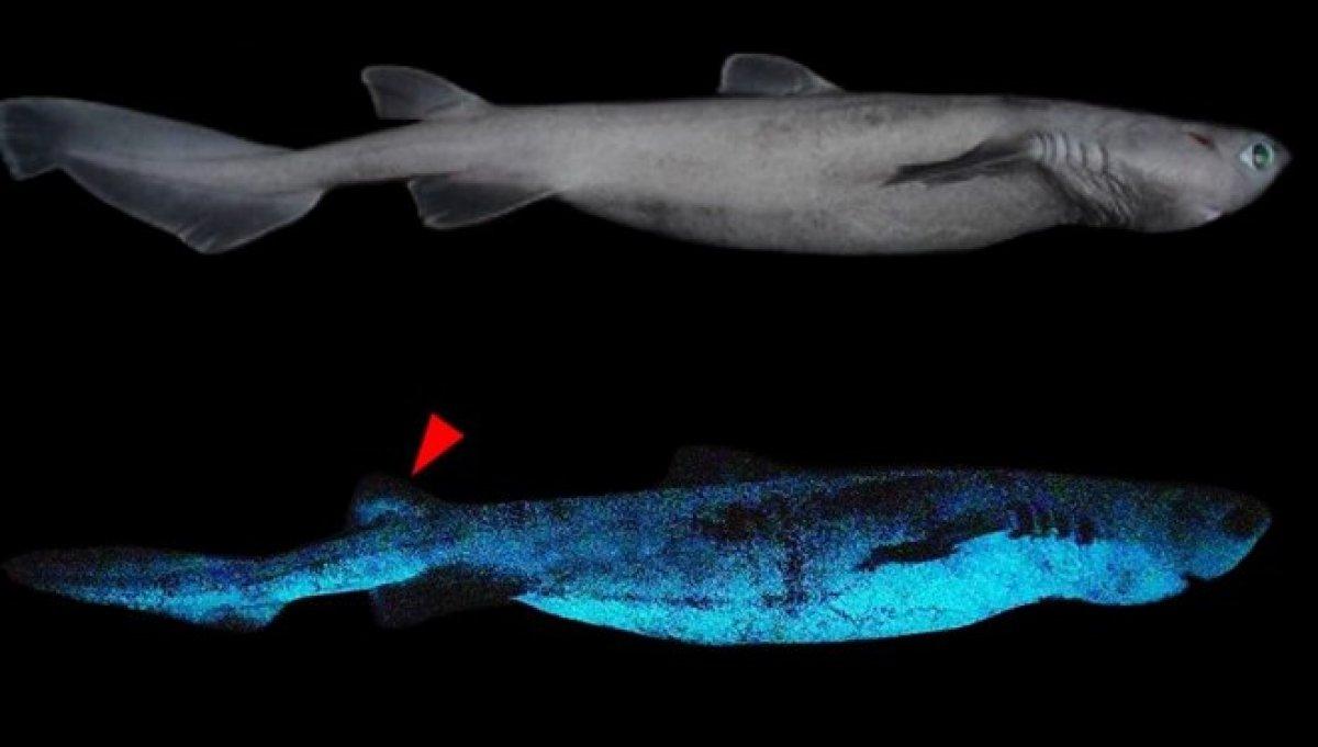 Bilim insanları, Yeni Zelanda da ışık saçan dev köpek balığı tespit etti #1