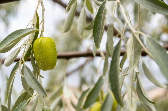 Zeytin yaprağının mucize faydası